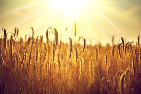 Weizenfeld. Ohren der goldenen Weizen Nahaufnahme. Ernte-Konzept Standard-Bild - 75239862
