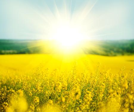 Rapszaad, bloeiende canola veld in de zomer Stockfoto