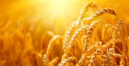 Weizenfeld. Ohren der goldenen Weizen Nahaufnahme. Ernte-Konzept Standard-Bild - 75239860
