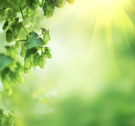 La planta del salto de cerca crece en una granja hop. lúpulo frescos y maduros Foto de archivo - 75239921