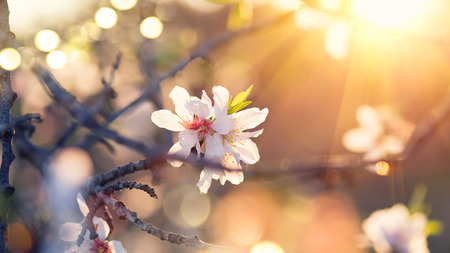 Spring blossom background. Beautiful nature scene with blooming almond tree