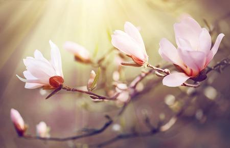arbol de pascua: magnolia del resorte flor de fondo. escena hermosa de la naturaleza con la magnolia en flor