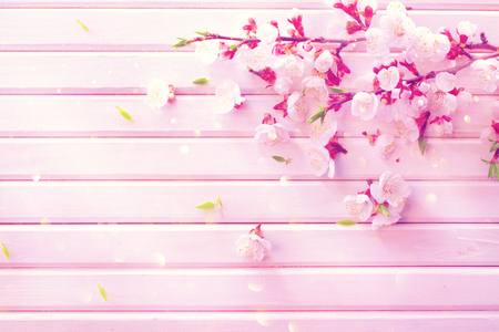 close up: Spring blossom on white wooden plank background. Pink blooming apricot flowers