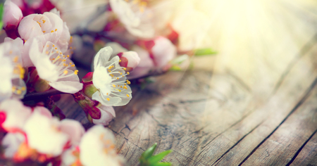 Spring blossom on wooden background. Blooming apricot flowers
