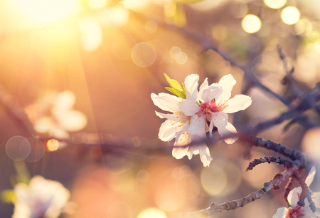 Spring blossom background. Beautiful nature scene with blooming almond tree Imagens - 75720342