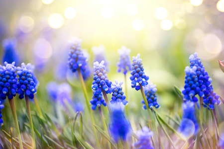 yellow: Spring muscari hyacinth flowers. Spring nature background with blue blossoming flowers closeup
