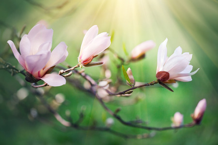 huge tree: Spring magnolia blossom background. Beautiful nature scene with blooming magnolia