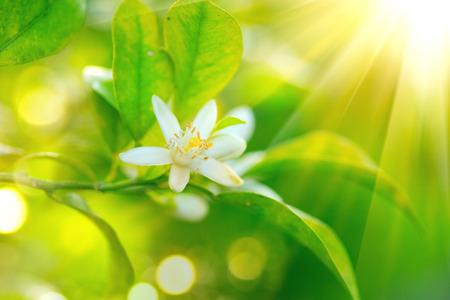 close up: Blossoming orange or lemon tree. Healthy organic lemon or orange growing in sunny orchard