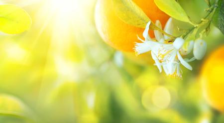 꽃이 만발한 오렌지 또는 레몬 나무. 맑은 과수원에서 자라는 건강한 유기농 레몬 또는 오렌지