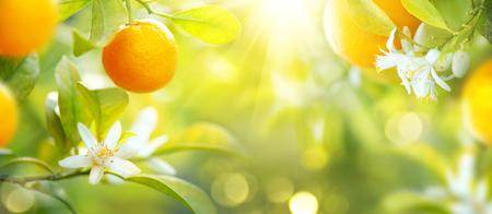 Rijpe sinaasappels of mandarijnen die op een boom hangen. Gezonde organische sappige vruchten groeien in zonnige boomgaard Stockfoto
