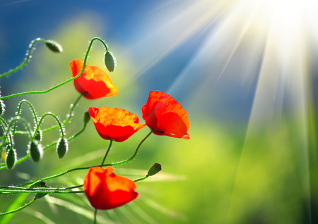 poppy seeds: Poppy flowers field nature spring background. Blooming poppies over blue sky