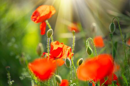 fleurs des champs: Les fleurs de pavot fleurissent le fond de la nature au printemps. Papillons fleuris