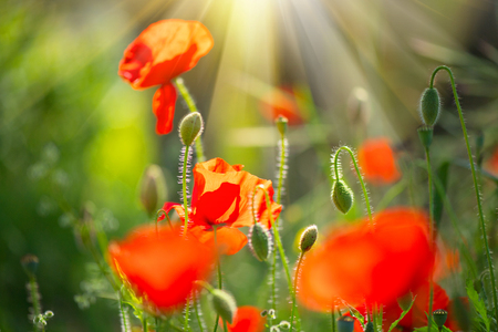 poppy seeds: Poppy flowers field nature spring background. Blooming poppies