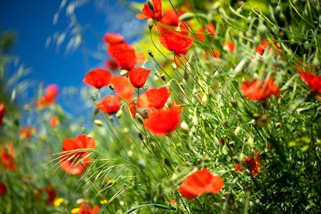 Fondo de primavera de naturaleza de campo de flores de amapola. Blooming amapolas sobre el cielo azul