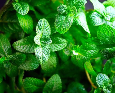 민트. 신선한 민트 잎 배경 근접 촬영입니다. 유기농 민트 성장