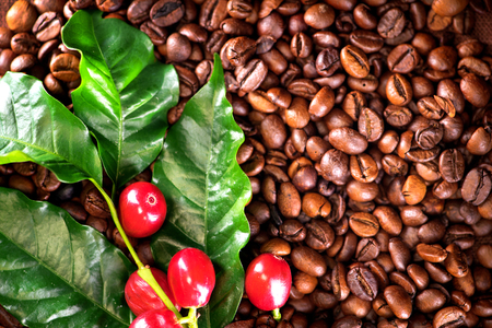 coffee harvest: Coffee. Real coffee plant with red beans on roasted coffee beans background