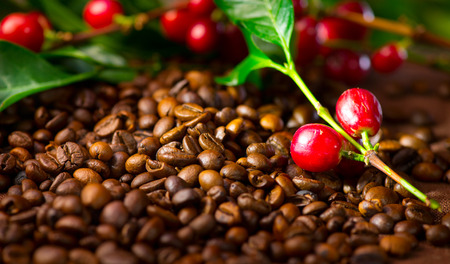 real: Coffee. Real coffee plant with red beans on roasted coffee beans background