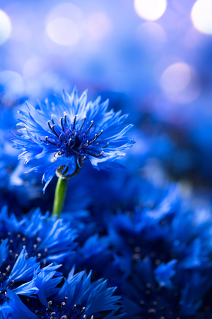 Cornflowers. Wild Blue Flowers Blooming. Border Art Design background. Closeup Image. Soft Focus Stock Photo