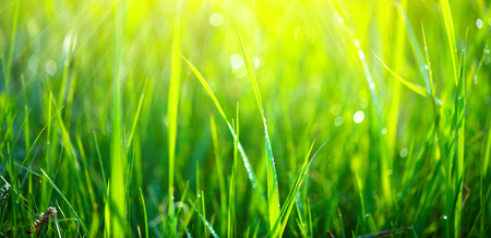 Green grass background. Fresh green spring grass with dew drops closeup