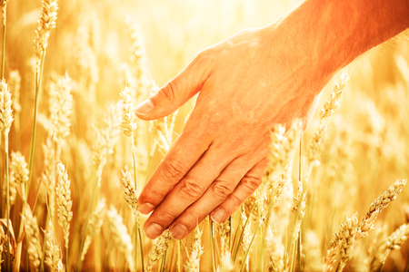 Wheat ears in mans hand. Harvest concept. Hand of farmer touching wheat corn agriculture Stock Photo
