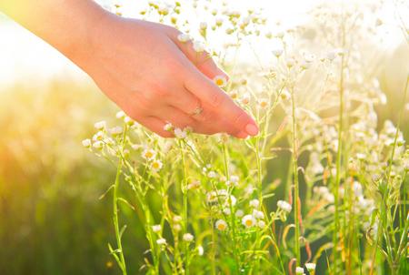 chamomile flower: Woman hand touching wild chamomile flowers closeup. Healthcare concept. Alternative medicine