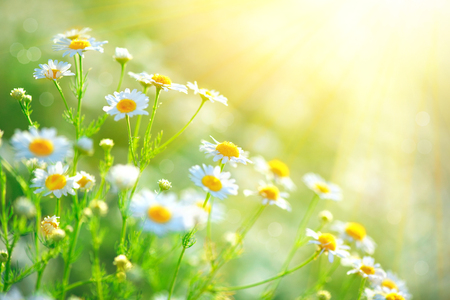 Chamomile field flowers border. Beautiful nature scene with blooming medical chamomilles Stok Fotoğraf