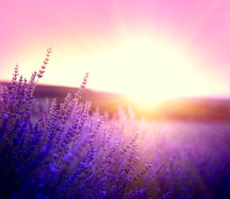 Lavendelfeld in der Provence, Frankreich. Blühende violette duftende Lavendelblüten Standard-Bild