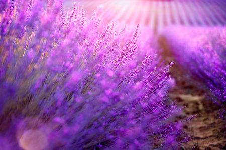 swaying: Lavender field in Provence, France. Blooming violet fragrant lavender flowers