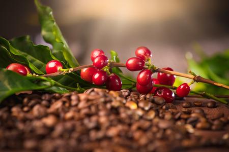 Koffie. Echte koffie plant op geroosterde koffie achtergrond