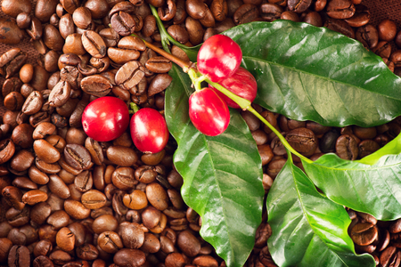 real: Coffee. Real coffee plant on roasted coffee background. Border art design
