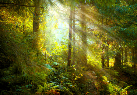 가 장면입니다. 태양 광선, 그림자 및 안개가 자욱한 오래 된 숲 스톡 콘텐츠