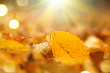 Autumn nature background. Fall abstract autumnal background with yellow leaves and sun flares