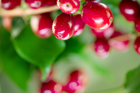 Coffee plant. Red coffee beans growing on a branch of coffee tree