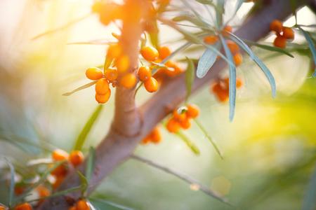 Argousier poussant sur un gros plan d'arbre (Hippophae rhamnoides)