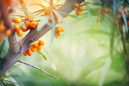 Sea buckthorn growing on a tree closeup (Hippophae rhamnoides) Banque d'images
