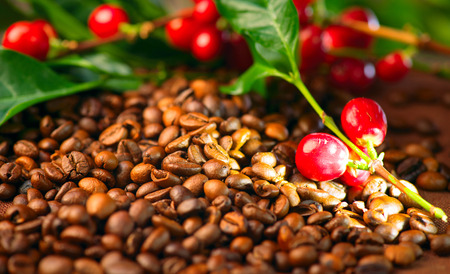 Coffee. Real coffee plant on roasted coffee beans background Stock Photo