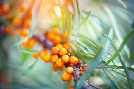 Sea buckthorn growing on a tree closeup (Hippophae rhamnoides) Stockfoto