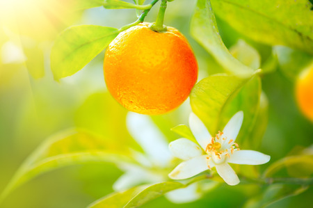 Ripe oranges or tangerines hanging on a tree. Organic juicy orange growing in sunny orchard