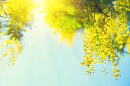 Mimosa. Spring Easter background. Blooming mimosa tree over blue sky