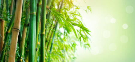 Bamboo forest. Growing bamboo over blurred sunny background Stock fotó - 96466678
