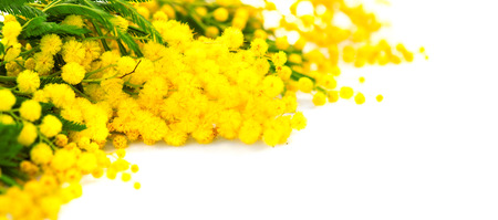 Mothers Day background. Mimosa spring flowers border isolated on white Stock Photo