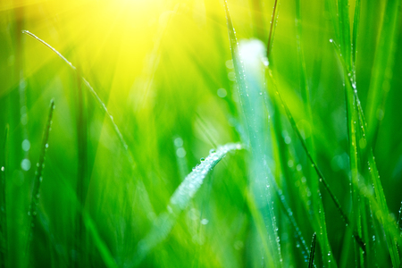 Grass. Fresh green spring grass with dew drops closeup. Soft focus. Abstract nature spring background Stock Photo