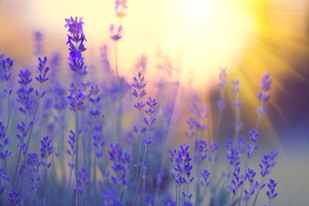 Lavender field, Blooming violet fragrant lavender flowers. Growing lavender swaying on wind over sunset sky, harvest, perfume ingredient, aromatherapy Фото со стока