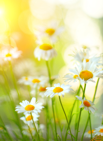 Chamomile flowers border. Beautiful nature scene with blooming medical chamomilles in sun flare. Daisy summer field