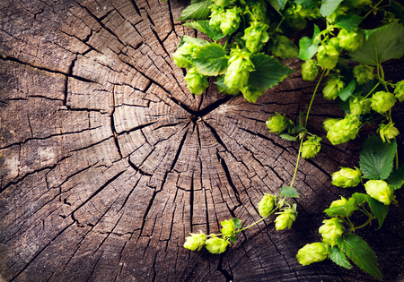 Hop twig over old wooden cracked background. Beer production ingredient. Brewery concept