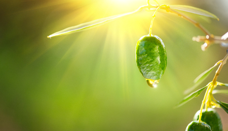 Olive oil drop on growing green olive in orchard. Mediterranean olives garden Stockfoto