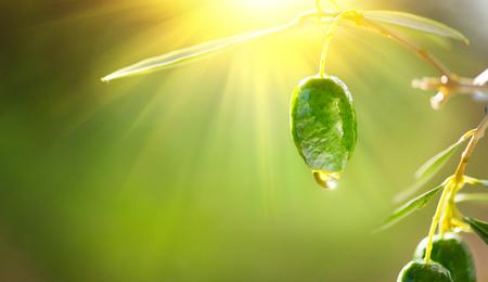 Olivenöltropfen auf wachsenden grünen Oliven im Obstgarten. Mediterraner Olivengarten Standard-Bild