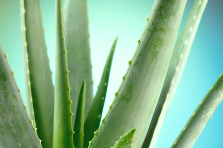 Aloe Vera closeup. Aloevera plant on blue background. Natural organic renewal cosmetics, alternative medicine. Skincare concept 스톡 콘텐츠 - 112655493