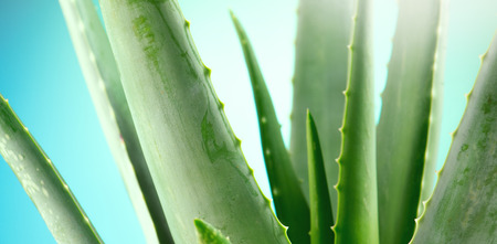 Aloe Vera closeup. Aloevera plant on blue background. Natural organic renewal cosmetics, alternative medicine. Skincare concept Standard-Bild - 112655527