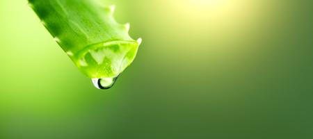 Aloe Vera gel dripping from Aloe green leaf closeup. Skincare concept. Drop of Aloevera fresh juice macro shot. Alternative medicine